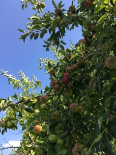 Äppelträd och blå himmel