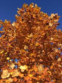 Höstträd rödgult mot blå himmel Botaniska 18 okt 2018