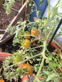 Tomater på gång