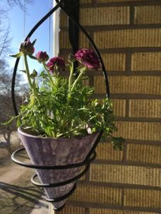 Ranunkel i lila kruka på balkongen april 2021